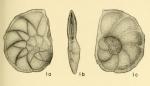 Asterigerinella gallowayi Bandy, 1949