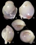 Biloculinella delphinoides