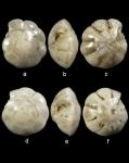 Hemirotalia calvifacta