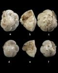 Hemirotalia foraminulosa