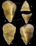 Pseudogaudryina triangulata