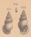 Rissoina amoena Zittel, 1873