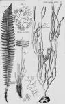 Spongia dichotoma Linnaeus, 1767