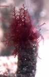 Coloured Lanice conchilega in aquarium