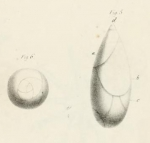 Polymorphina (Pyruline) gutta d'Orbigny, 1826