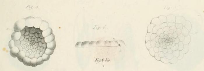 Planorbulina mediterranensis d'Orbigny, 1826
