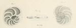 Planulina ariminensis d'Orbigny, 1826