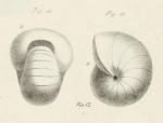 Nonionina umbilicata d'Orbigny, 1826