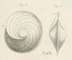 Robulina orbicularis d'Orbigny, 1826