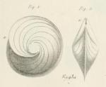 Robulina orbicularis d'Orbigny, 1826