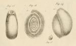 Fabularia discolites Defrance, 1825