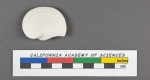 Orbiculina numismalis Lamarck, 1822