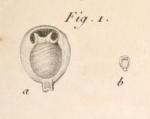 Miliolites ringens Lamarck, 1804