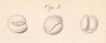 Miliolites coranguinum Lamarck, 1804