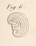 Renulites opercularia Lamarck, 1804