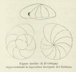 Gyroidina laevigata d'Orbigny, 1826