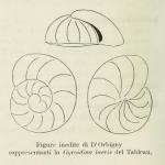 Gyroidina laevis d'Orbigny, 1826