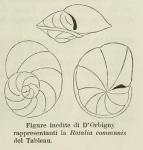 Rotalia communis d'Orbigny, 1826
