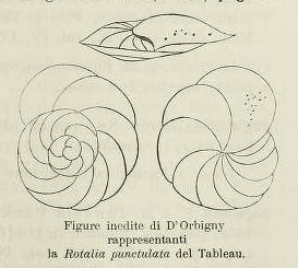 Rotalia punctulata d'Orbigny in Parker, Jones & Brady, 1865