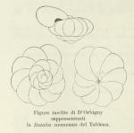 Rotalia siennensis (d'Orbigny, 1826)