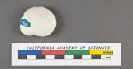 Rotalia (Turbinuline) tortuosa d'Orbigny, 1826
