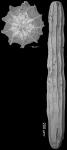Amphimorphina lirata Cushman & Bermudez, 1936  Holotype