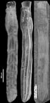 Amphimorphina gracilis Cushman and Todd, 1948 Holotype