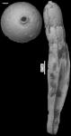 Dentalina quadrulata Cushman & Laiming, 1931 Holotype