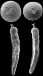 Anastomosa acutecostata (Silvestri, 1872) identified specimens