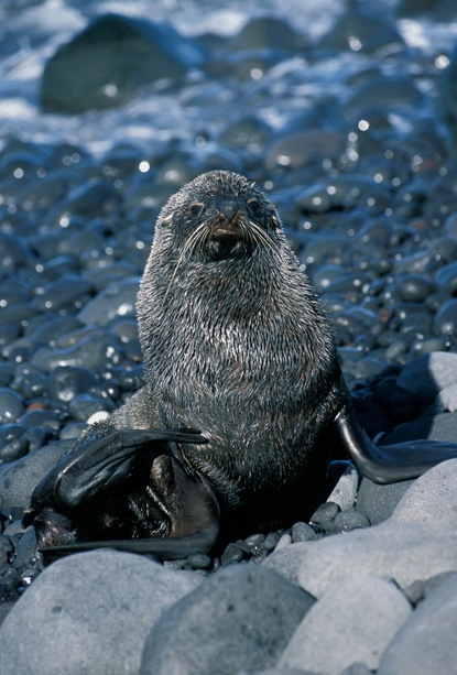 Antarctic Fur Seal stare