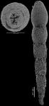 Anastomosa loeblichi Hayward & Van Kerckhoven, 2012 PARATYPE