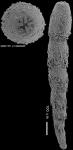 Anastomosa loeblichi Hayward & Van Kerckhoven, 2012 HOLOTYPE