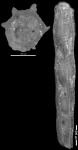 Nodosaria nuttalli Hedberg, 1937 HOLOTYPE