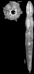 Chrysalogonium lamellatum Bermudez, 1949 HOLOTYPE