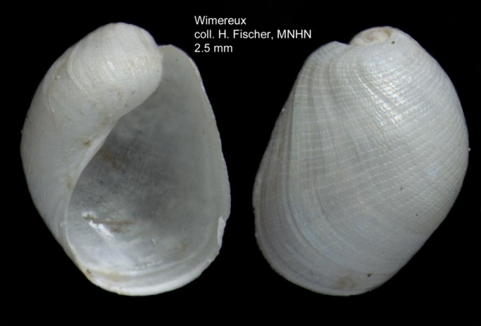 Philine punctata (Adams, 1800) - shell from Wimereux, estern Channel, coll. H. Fischer (MNHN, Paris). Actual size 2.5 mm