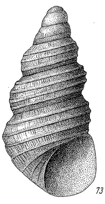 Onoba laticingulata Golikov & Kussakin, 1978