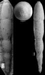 Chrysalogonium ciperense Cushman & Stainforth, 1945 HOLOTYPE
