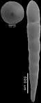Chrysalogonium ciperense Cushman & Stainforth, 1945 MICROSPHERIC FORM