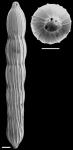Chrysalogonium deceptorium (Schwager, 1866) IDENTIFIED SPECIMEN