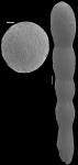 Chrysalogonium equisetiformis (Schwager, 1866) IDENTIFIED SPECIMEN