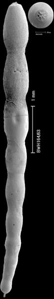 Chrysalogonium polystomum (Schwager, 1866)