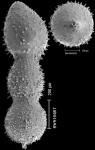 Chrysalogonium rudis (d'Orbigny, 1846) IDENTIFIED SPECIMEN