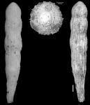 Chrysalogonium dickersoni Cushman & Bermudez, 1936