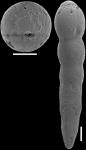 Epelistoma morgansi Hayward, 2012 PARATYPE