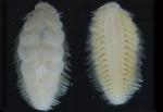 Lepidonotopodium okinawae Sui & Li, 2017