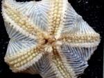 Hymenaster pellucidus