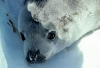 Crab eater seal pup portrait