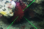 Thesea rubra, 78 m Coral Trees Reef, Gulf of Mexico.