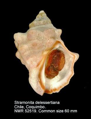 Stramonita delessertiana