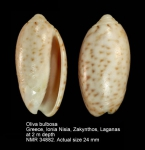 Oliva bulbosa